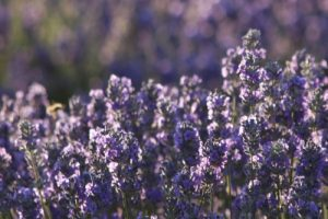 Lavender 500×334