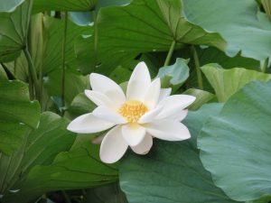 White_lotus_zizhuyuan- 900X675