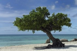 Aruba_Divi_Tree_-_Eagle_Beach_(2896882763) 500×334