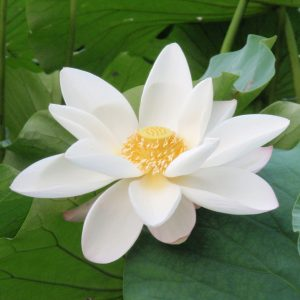White_lotus_zizhuyuan (2)