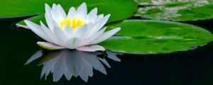 lotus with reflection (2)