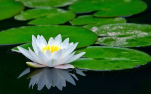 lotus with reflection