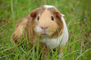 guinea-pig-cavy-pet-guinea-60693