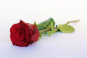 rose-2020365